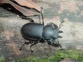 昆蟲相簿:北插小黑