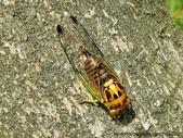 昆蟲相簿:端黑蟬 陽明山國家公園