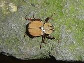 昆蟲相簿:台灣角金龜♀