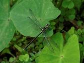 昆蟲相簿:紹德春蜓 陽明山國家公園 大屯瀑布