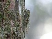 昆蟲相簿:小暮蟬 ♂蟲 宜蘭 太平山到道路