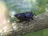 昆蟲相簿:台灣熊蟬 ♂蟲 陽金公路
