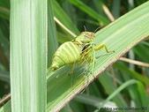 昆蟲相簿:草蟬 擎天崗