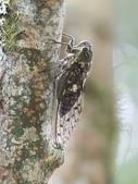 昆蟲相簿:蓬萊大蟬 宜蘭 太平山車道