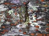 昆蟲相簿:可禮大蟬 ♀蟲 台中 武陵農場