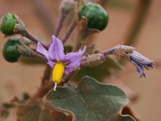 花花世界:印度茄 台中 龍井