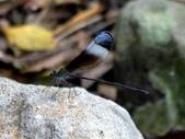 昆蟲相簿:中華珈蟌 新北 三芝 三板橋