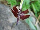 昆蟲相簿:善變蜻蜓 士林 外雙溪