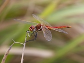 昆蟲相簿:紅脈蜻蜓 桃園 蘆竹 竹圍漁港