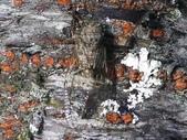 昆蟲相簿:小暮蟬 ♀蟲 台中 武陵農場