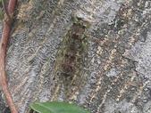 昆蟲相簿:鼈甲暮蟬 ♂蟲 宜蘭 太平山車道