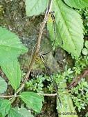 昆蟲相簿:脛蹼琵蟌連結 三洽水
