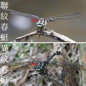 昆蟲相簿:聯紋春蜓與異紋春蜓