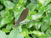 昆蟲相簿:白痣珈蟌 台北 士林