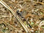 昆蟲相簿:杜松蜻蜓 ♀ 台北 金山