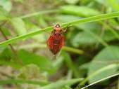 昆蟲相簿:琉璃草蟬 礁溪