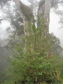 神木.老樹:白嶺巨木