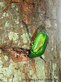 昆蟲相簿:金艷騷金龜