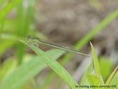 昆蟲相簿:亞東細蟌 台北 雙溪