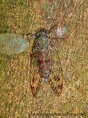 昆蟲相簿:台灣騷蟬♂ 烏來