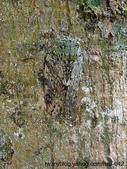 昆蟲相簿:長毛姬蟪蛄 苗栗 馬那邦山