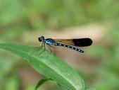 昆蟲相簿:棋紋鼓蟌 木柵 小坑溪