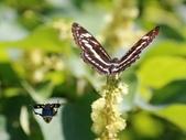 昆蟲相簿:黃肩長腳花金龜、小單帶蛺蝶 陽明山國家公園