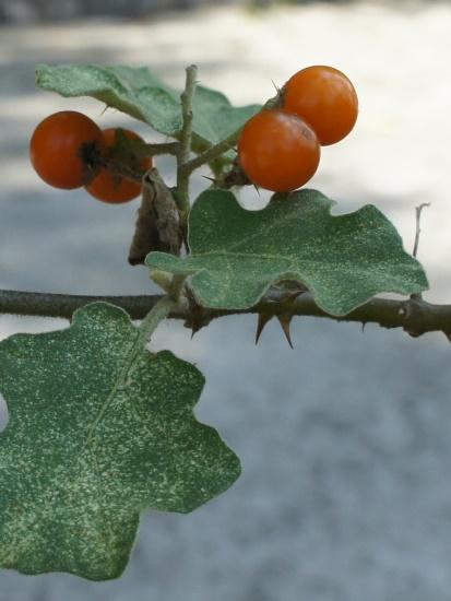 花花世界:印度茄 宜蘭 三星