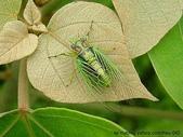 昆蟲相簿:草蟬 新店