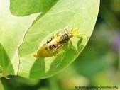 昆蟲相簿:草蟬 黃色型 通霄