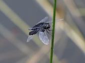 昆蟲相簿:三角蜻蜓 ♀ 新北 汐止 夢湖