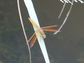 昆蟲相簿:褐斑蜻蜓 桃園 龍潭