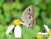 昆蟲相簿:台灣波紋蛇目蝶 台北 雙溪