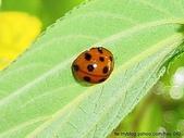 昆蟲相簿:小十三星瓢蟲 內湖