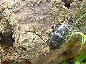 昆蟲相簿:扁鍬形蟲產卵2