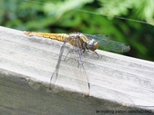 昆蟲相簿:雙白蜻蜓 台北 內雙溪