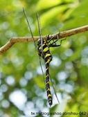 昆蟲相簿:無霸勾蜓 台北 外雙溪