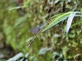 昆蟲相簿:青黑琵蟌 陽明山國家公園