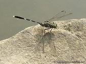 昆蟲相簿:杜松蜻蜓 台北 內湖