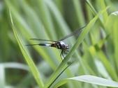 昆蟲相簿:橙斑蜻蜓 新北 汐止 翠湖