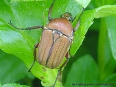 昆蟲相簿:褐豔騷金龜 台北 石碇