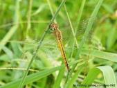 昆蟲相簿:薄翅蜻蜓 台北 五股