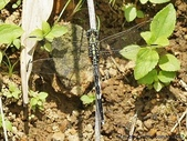 昆蟲相簿:杜松蜻蜓 台北 內雙溪
