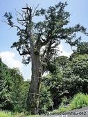 神木.老樹:太平山 白嶺巨木