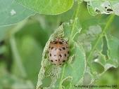 昆蟲相簿:茄二十八星瓢蟲 台北 金山