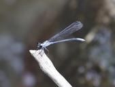 昆蟲相簿:短尾幽蟌 台北 士林 內雙溪