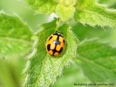 昆蟲相簿:龜紋瓢蟲 台北 金山