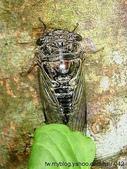昆蟲相簿:高砂熊蟬♀ 台北 八里