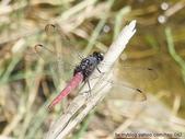 昆蟲相簿:霜白蜻蜓 台北 雙溪