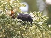 昆蟲相簿:東方白點花金龜 台北 士林 外雙溪